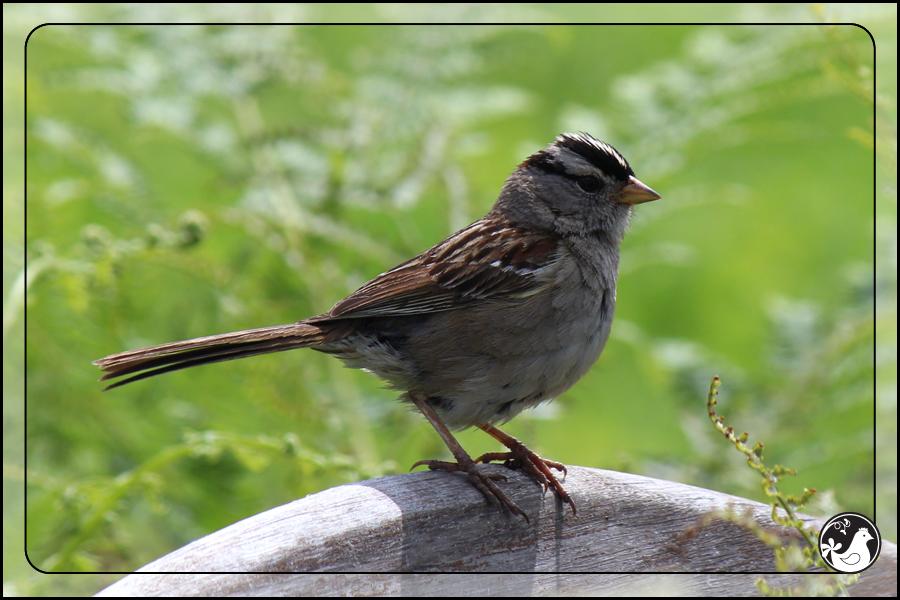 Ridgetop Farm and Garden | Birds of 2013 | Week 25 | White-crowned Sparrow