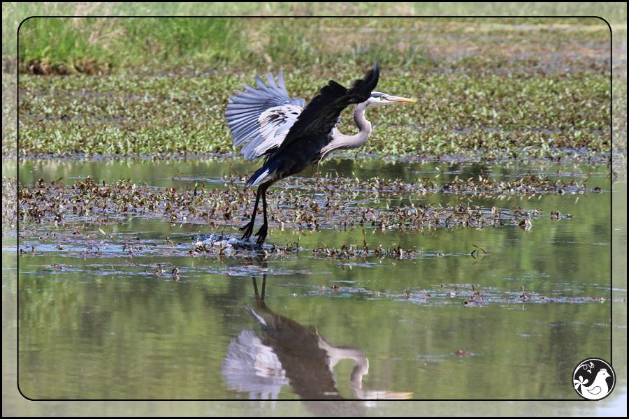 Ridgetop Farm and Garden | Birds of 2013 | Week 22 | Great Blue Heron