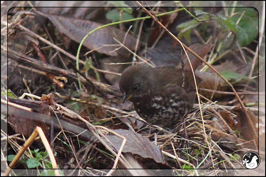 Ridgetop Farm and Garden | Birds of 2013 | Week 5 | Fox Sparrow