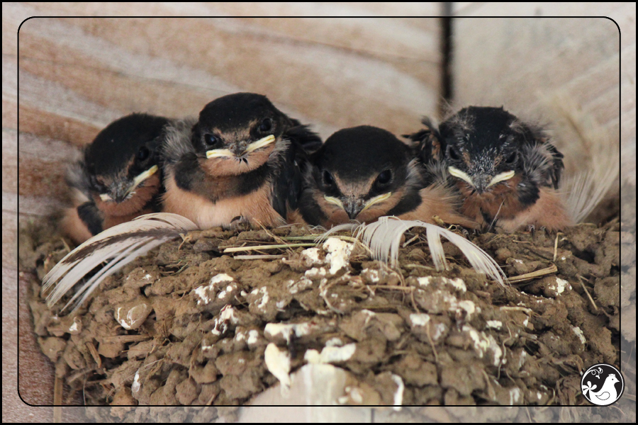 Ridgetop Farm and Garden | Birds of 2013 | Week 31 | Barn Swallow