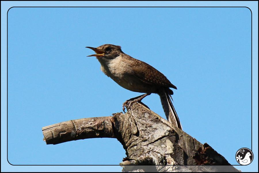 Ridgetop Farm and Garden | Birds of 2013 | Week 25 | House Wren