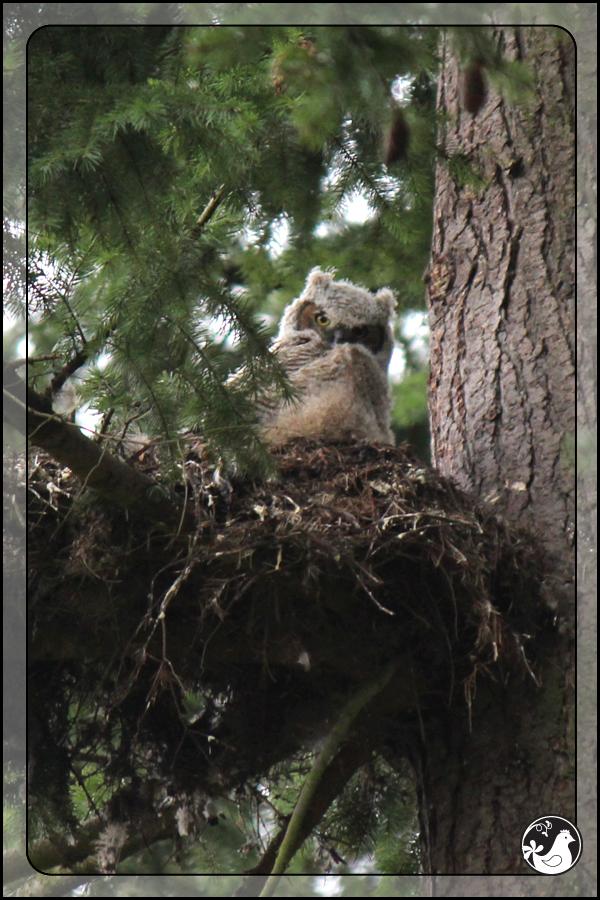 Ridgetop Farm and Garden | Birds of 2013 | Week 9 | Great-horned Owl