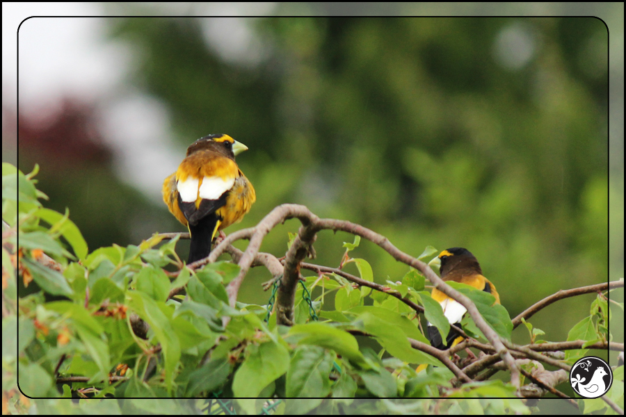 Ridgetop Farm and Garden   Birds of 2013   Week 20   Evening Grosbeak