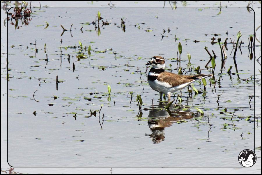 Ridgetop Farm and Garden   Birds of 2013   Week 23   Killdeer