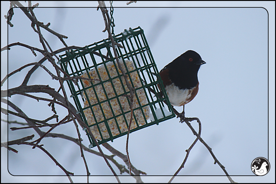 Ridgetop Farm and Garden | Birds of 2013 | Week 15 | Spotted Towhee