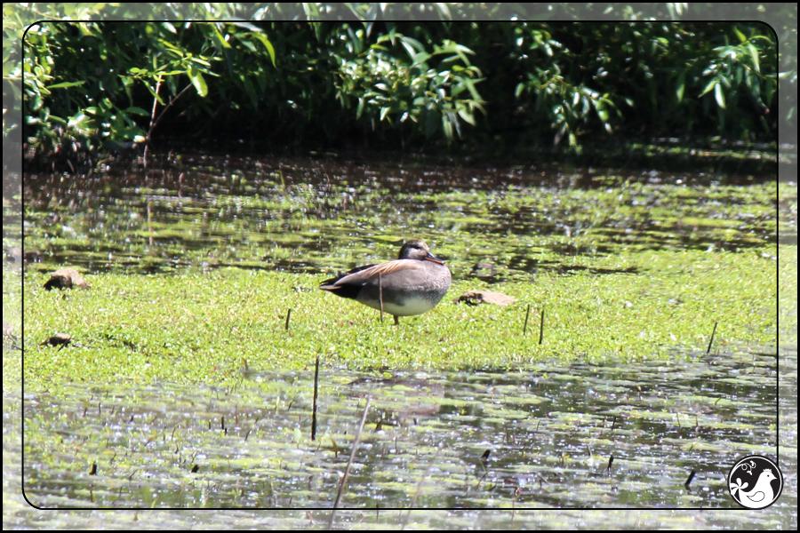 Ridgetop Farm and Garden   Birds of 2013   Week 21   Gadwall