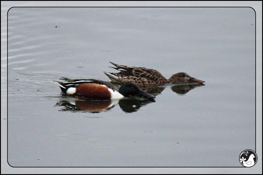 Ridgetop Farm and Garden | Birds of 2013 | Week 11 | Northern Shoveler