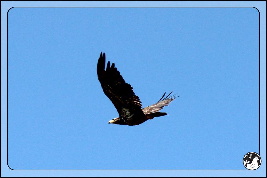 Ridgetop Farm and Garden   Birds of 2013   Week 21   Young Bald Eagle