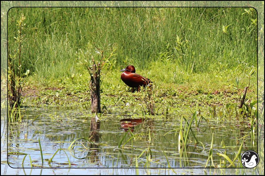 Ridgetop Farm and Garden   Birds of 2013   Week 21   Cinnamon Teal