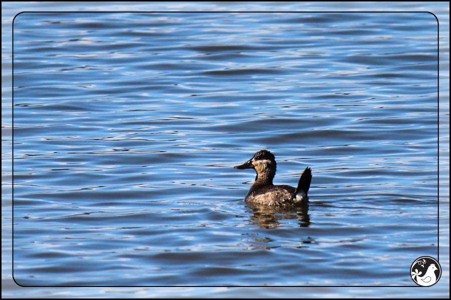 Ridgetop Farm and Garden | Birds of 2013 | Week 11 | Ruddy Duck