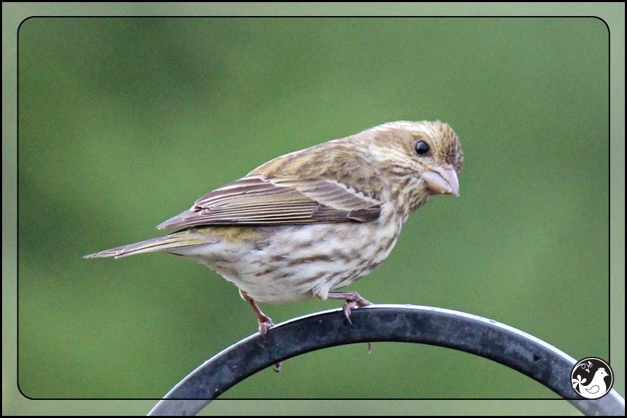 Ridgetop Farm and Garden   Birds of 2013   Week 17   House Finch