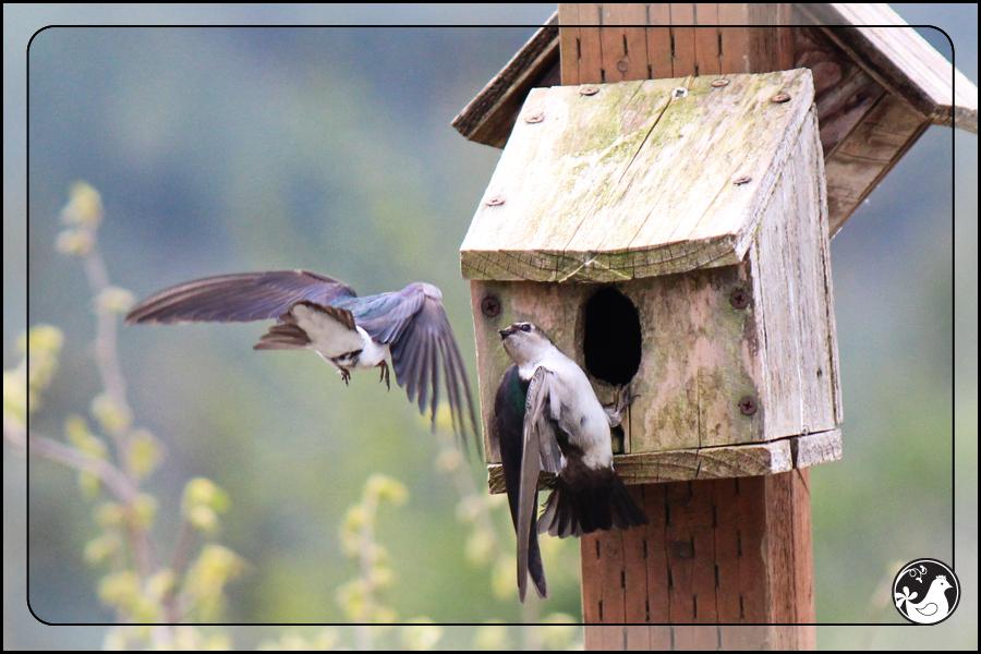 Ridgetop Farm and Garden   Birds of 2013   Week 17  