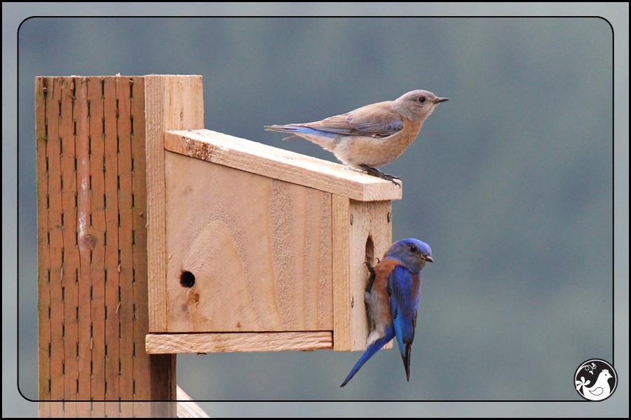 Ridgetop Farm and Garden   Birds of 2013   Week 17   Western Bluebird