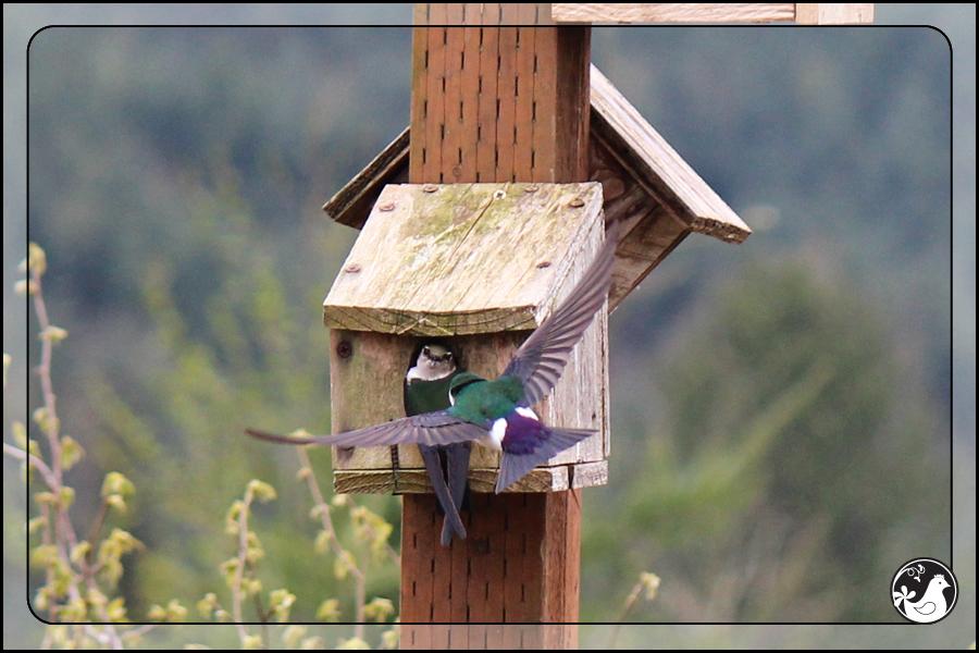 Ridgetop Farm and Garden   Birds of 2013   Week 17   Violet-green Swallows