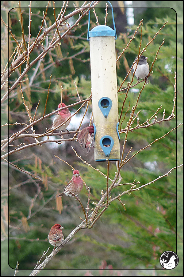 Ridgetop Farm and Garden | Birds of 2013 | Week 15 | House Finch | Dark-eyed Junco