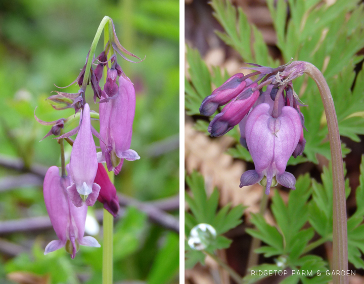Ridgetop Farm and Garden | Pacific NW Plants | Pacific Bleeding Heart | Western