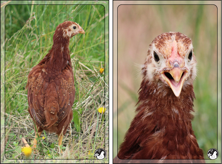 Ridgetop Farm and Garden | Our Flock | Rhode Island Reds