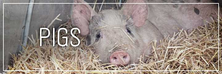 Ridgetop Farm and Garden | Farm Animals | Pigs