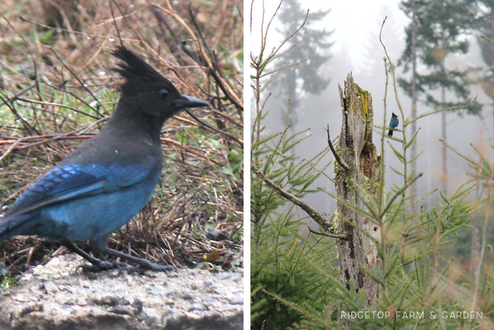 Ridgetop Farm and Garden | 2017 Great Backyard Bird Count | GBBC | Steller's Jay
