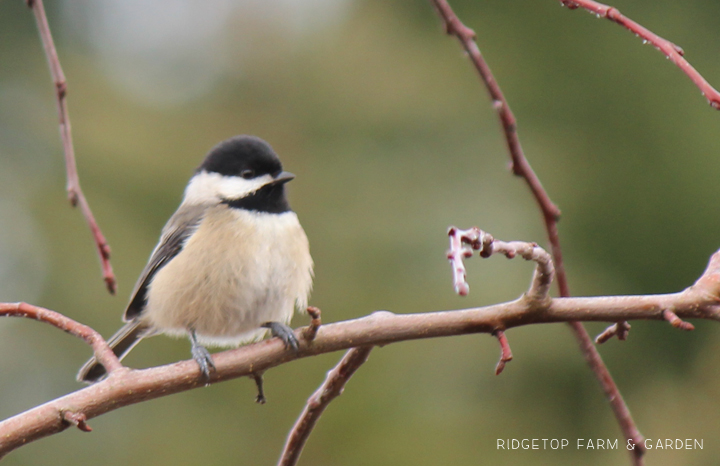 Ridgetop Farm and Garden | 2017 Great Backyard Bird Count | GBBC | Black-capped Chickadee