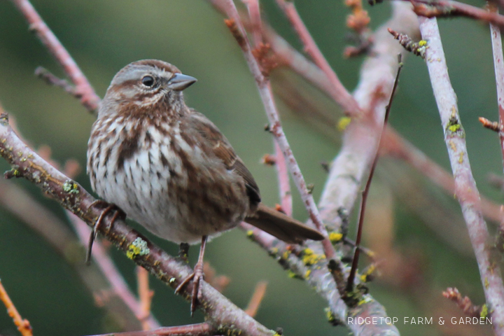 Ridgetop Farm and Garden | 2017 Great Backyard Bird Count | GBBC | Song Sparrow