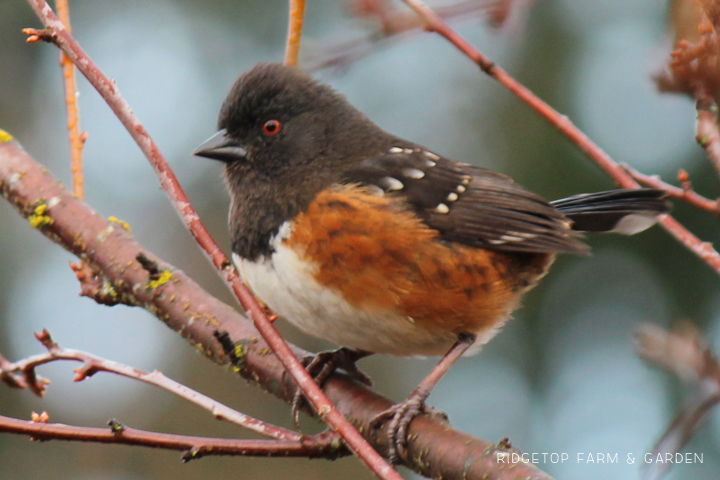 Ridgetop Farm and Garden | 2017 Great Backyard Bird Count | GBBC | Spotted Towhee
