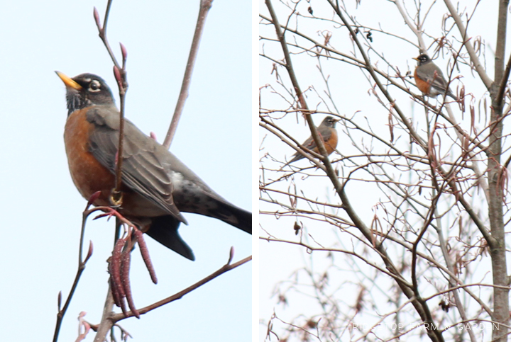 Ridgetop Farm and Garden | 2017 Great Backyard Bird Count | GBBC | American Robin