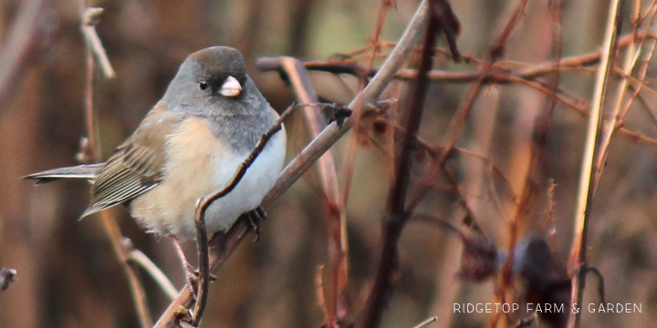 Ridgetop Farm and Garden | 2017 Great Backyard Bird Count | GBBC | Dark-eyed Junco