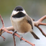 2017 Great Backyard Bird Count