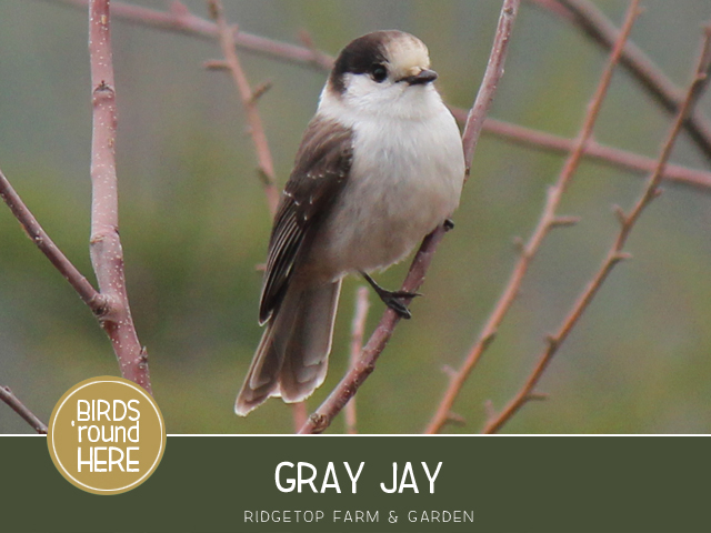 Ridgetop Farm and Garden | Birds 'round Here | Gray Jay
