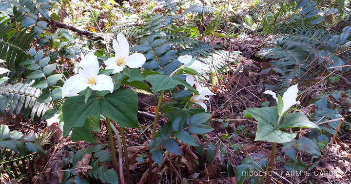 Ridgetop Farm and Garden | Pacific NW Plants | Western Trillium