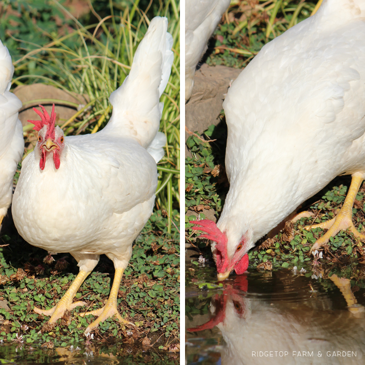 Ridgetop Farm and Garden | Chicken Breed | White Leghorn