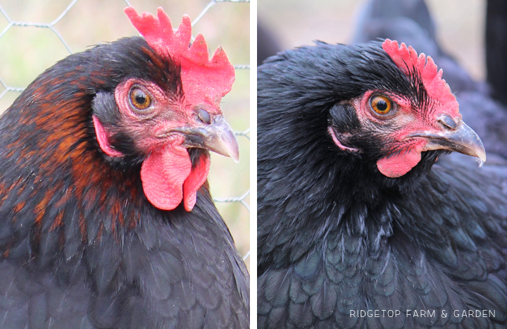 Ridgetop Farm and Garden | Our Flock | Chicken Breeds | Black Copper Marans