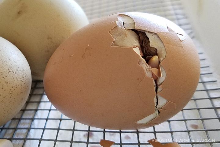 Ridgetop Farm and Garden | Hatching Chicks | Egg Tooth