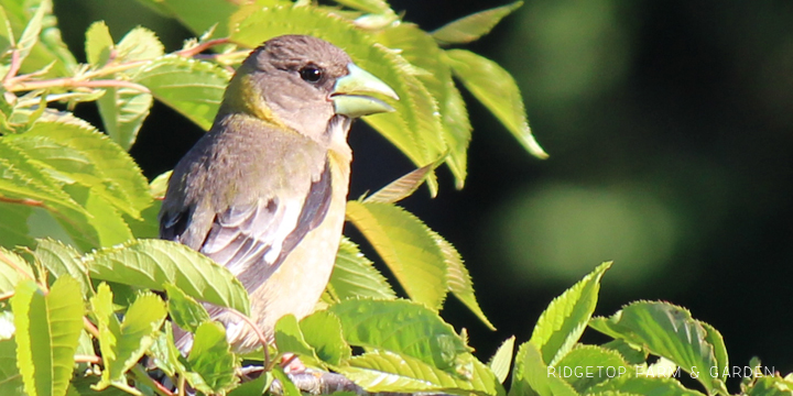 Ridgetop Farm and Garden | Evening Grosbeak | Female