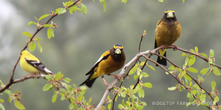 Ridgetop Farm and Garden | Evening Grosbeak