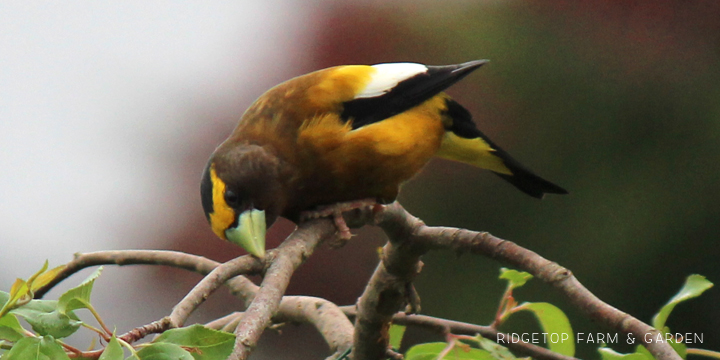 Ridgetop Farm and Garden | Evening Grosbeak | Male
