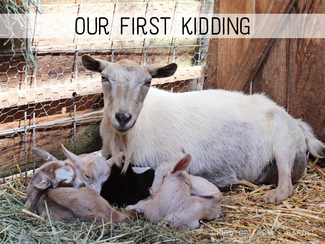 Ridgetop Farm and Garden | Nigerian Dwarf Goats | Our First Kidding