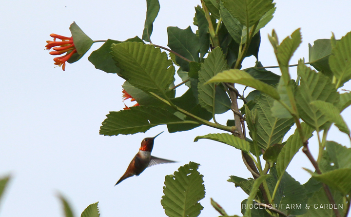 Ridgetop Farm and Garden   Birds 'Round Here   Rufous Hummingbird