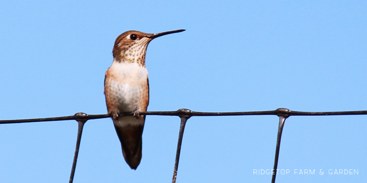 Ridgetop Farm and Garden | Birds 'Round Here | Rufous Hummingbird