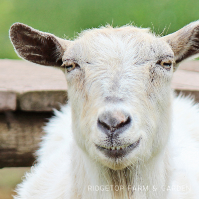 Our Goat Herd: Willow