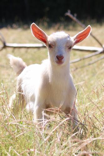 Ridgetop Farm and Garden | Nigerian Dwarf Goat | For Sale