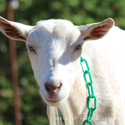 Our Goat Herd: Bunny