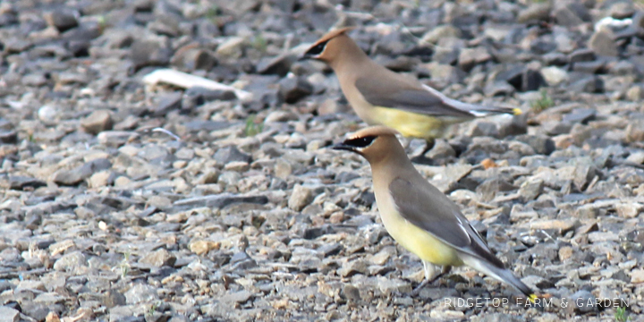 Ridgetop Farm and Garden | Birds 'Round Here | Cedar Waxwing