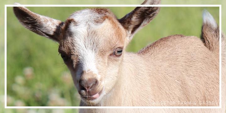 Ridgetop Farm and Garden | Nigerian Dwarf Goat | Sales Policy