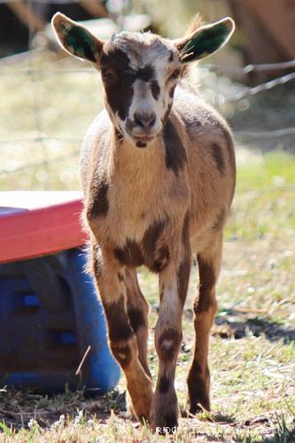 Ridgetop Farm and Garden   Nigerian Dwarf Goat   Our Herd   Moon   Moon Spots   ADGA registered