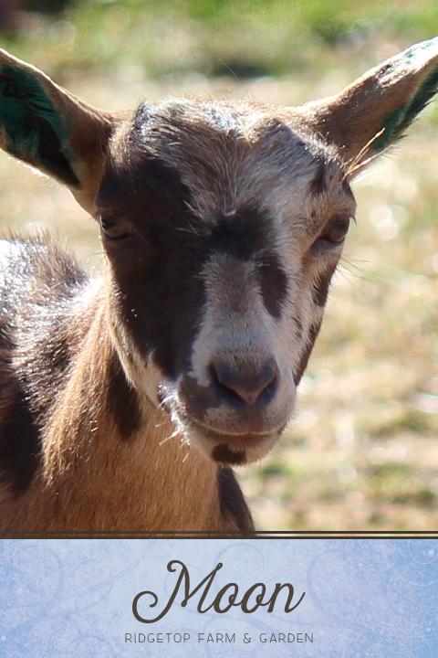 Ridgetop Farm and Garden | Nigerian Dwarf Goat | Our Herd | Moon