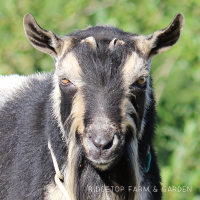 Our Goat Herd: Tamarack