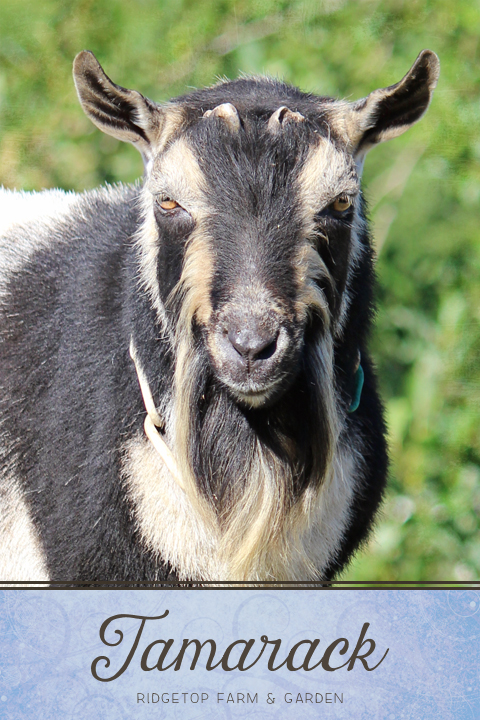 Ridgetop Farm and Garden | Our Goat Herd | Nigerian Dwarf Goat | Tamarack