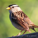 Birds 'round Here: White-crowned Sparrow